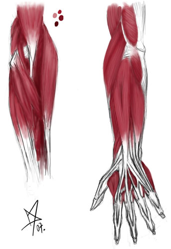 Anatomy - arm muscles