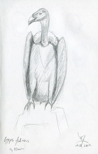 Griffon vulture sketch